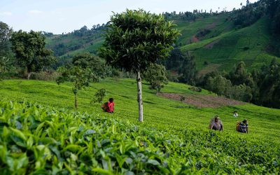 "Small-scale Tea Farmers in Kenya Are Probably the Cause of Your ""Brightened Up"" Mornings"